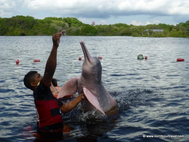Swimming with pink river dolphins. Manaus, Brazil. | pink dolphin Amazon | river dolphins