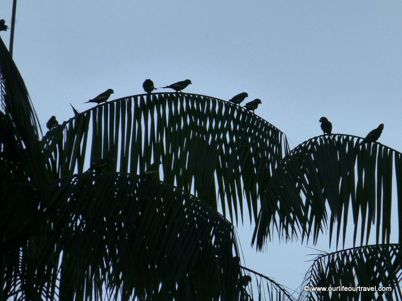 Watching parakeets in Leticia, Colombia.
