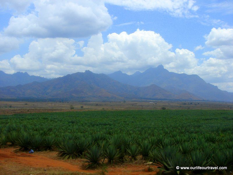 A pineapple plantation