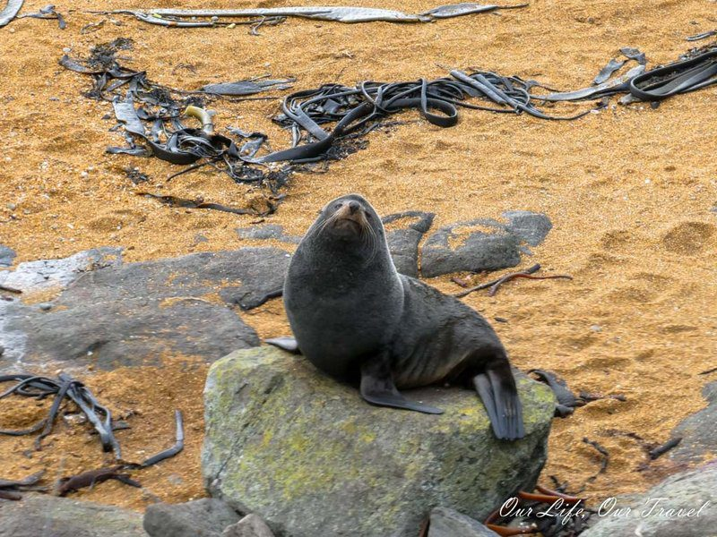 Seals in New Zealand - South Island
