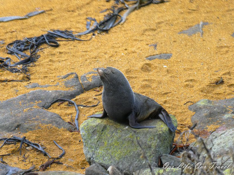 Sea Lions in New Zealand