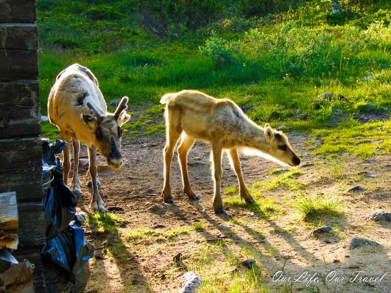 reindeer Pallas-Yllästunturi National Park